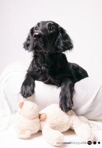 Hunde Fotografie - Flatcoated Retriever