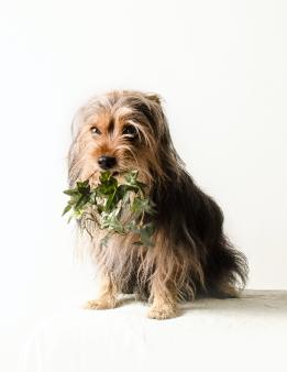 Hunde Fotografie - Yorkie