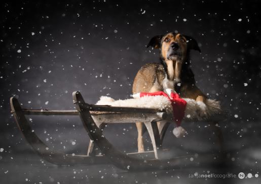 Hunde Fotografie - Weihnachten