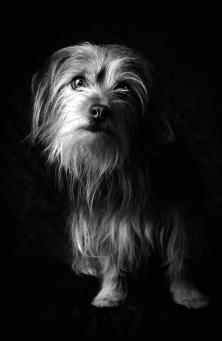 Hunde Fotografie - Yorkshire Terrier