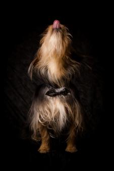 Hunde Fotografie -Yorshire Terrier Mix Merlin