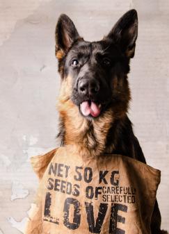 Hunde Fotografie - Schäferhund
