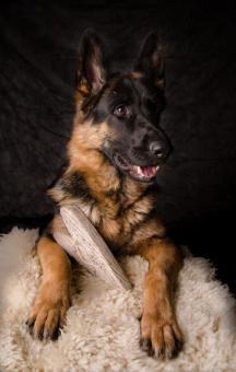 Hunde Fotografie - Schäferhund mit Herz