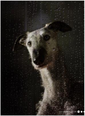 rainy days - galgo diego