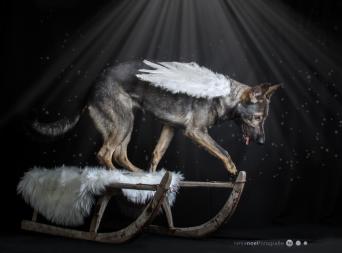 Tierfotografie Schäferhund Jo