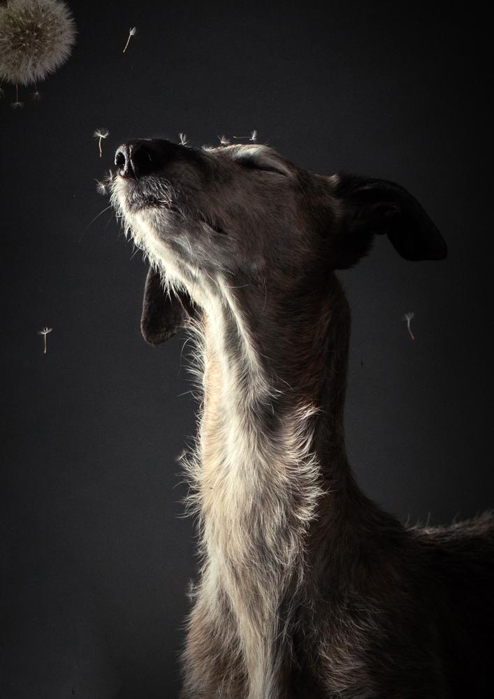 Hundefotografie, Tierfotograf, Studio, Hundefotograf, Hundebild, Wels, Linz, Salzburg